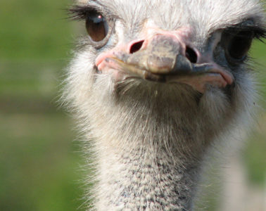 ostrich-preview